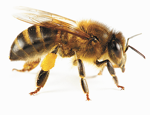 The benefits of honeybees