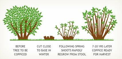 Image result for coppicing