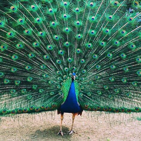 Ritual display – peacock